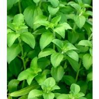 Stevia Reubadiana de Cultivo Ecológico en Maceta 10,5 Cm.