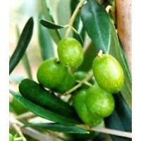 Planta de Olivo. Variedad Frantoio. Resistenc