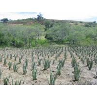 Comprar cultivo aloe vera venta online y precios agroterra - Planta de aloe vera precio ...