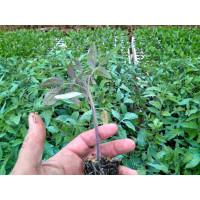 Plantel Tomate Moruno Bandeja de 249 Plantas
