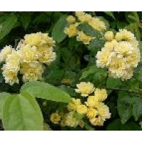 Rosa Banksiae Lutea Plena Rd