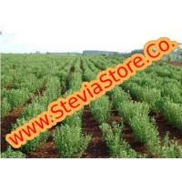 Semilla de Stevia