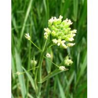 Semillas de Camelina Sativa para Biodiesel