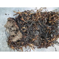 Algas Secas Granel Ascophyllum Nodosum