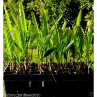 Palmera Washingtonia Robusta. 3 Plantas de 35-40 Cm