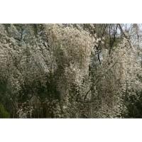 1 Planta de Retama Monosperma - Retama Blanca