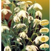 Galanthus Nivalis Flore Pleno 10 Ud