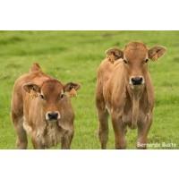 Carnes Selectas de Terneros Asturianos