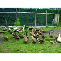 Liquidación de Patos Criollos