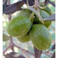 Planta de Olivo Variedad Hojiblanca. 100 Cm