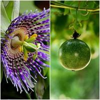 Semillas de Passiflora Edulis, Maracuya, Fruta de la Pasión.