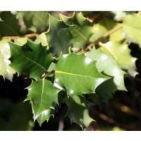 1 Planta de Quercus Coccifera - Coscoja.