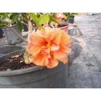 Hibiscus Arbustivo en Maceta de 20 Centímetro