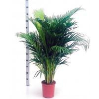 Planta Natural Palmera Dypsis Lutescens. 120