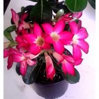 1 Planta de Rosa del Desierto. Adenium Obesum