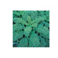 Kale Green Curled Afro - 2500 Semillas Sin Tr