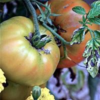 Tomate Big Rainbow, Ecológico. Envase de 50 Semillas. Produce Frutos hasta 900 Gr.