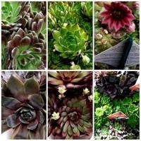 6 Plantas Siempreviva. Variadas. para Rocalla