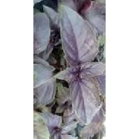 Albahaca Purpura Crimson King (2500 Semillas