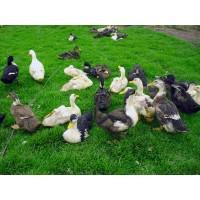 Liquidacion de Gallinas Criollas, Gallos, Patos y Cabras