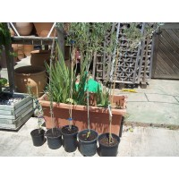 Olivo Picual en Maceta de 20 Cm