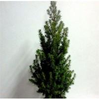1 Planta de Picea Conica. Conifera Ideal para