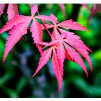 20 Semillas de ARCE Japones. Acer Palmatum.