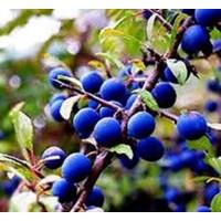 20 Semillas de Prunus Spinosa - Endrino.