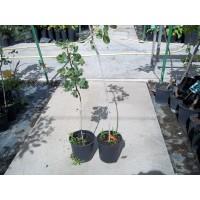Fardo 50 Plantas Pistachos (45H+5M)