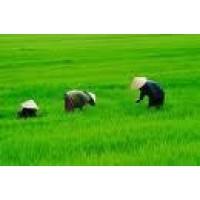 Jasmine  5% -10% -Vietnam / Venta -Exportacion-Sortex