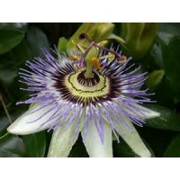 Pasiflora Caerulea en Maceta de 20 Cm