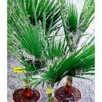 Planta de Palmera del Desierto Washingtonia Filifera. Altura Planta 50/60 Cm