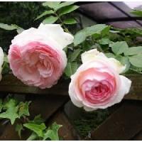 Rosal Trepador Pierre de Ronsard Rd
