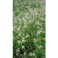 Rucula  (Eruca Vesicaria Ssp Sativa) - 100 Gr