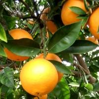 Naranja Ecológica Navelina. 9 Kg