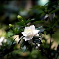 Planta en Cepellón de Gardenia Augusta