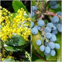 Semillas de Uva de Oregón. Mahonia Aquifolium