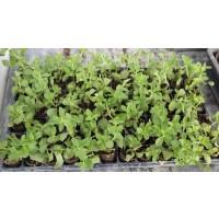 Bandeja 80 Plantas Stevia