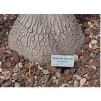 Beucarnea en Tarrina de 35 Centímetros