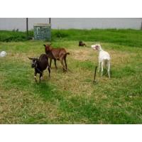 Cabras en Chia - Cel 3125173009