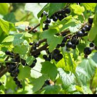 Grosella Negra O Ribes Rubrum