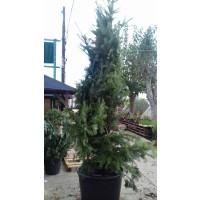 Mandarino Clemenules Carrizo C-17