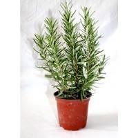 Pack de 10 Plantas Aromáticas de Romero. Rosmarinus Officinalis.
