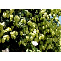 20 Semillas de Koelreuteria Paniculata - Jabonero de China, Arbol de los Farolitos