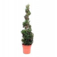 Planta Natural Buxus Spiral en Maceta M24