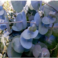 1 Planta. Eucalyptus Gunnii, Gomero, Eucalipto. Altura Planta: 20 - 30 Cms.