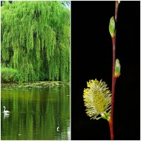 1 Planta Sauce Salix Caprea Kilmarnock. Altur