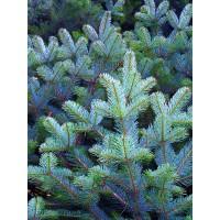 50 Semillas de Picea de Colorado, Picea Azul, Pugens