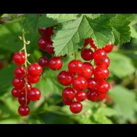 Grosella Roja  O Ribes Rubrum