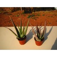 Planta Aloe Vera Barbadensis Miller en Maceta